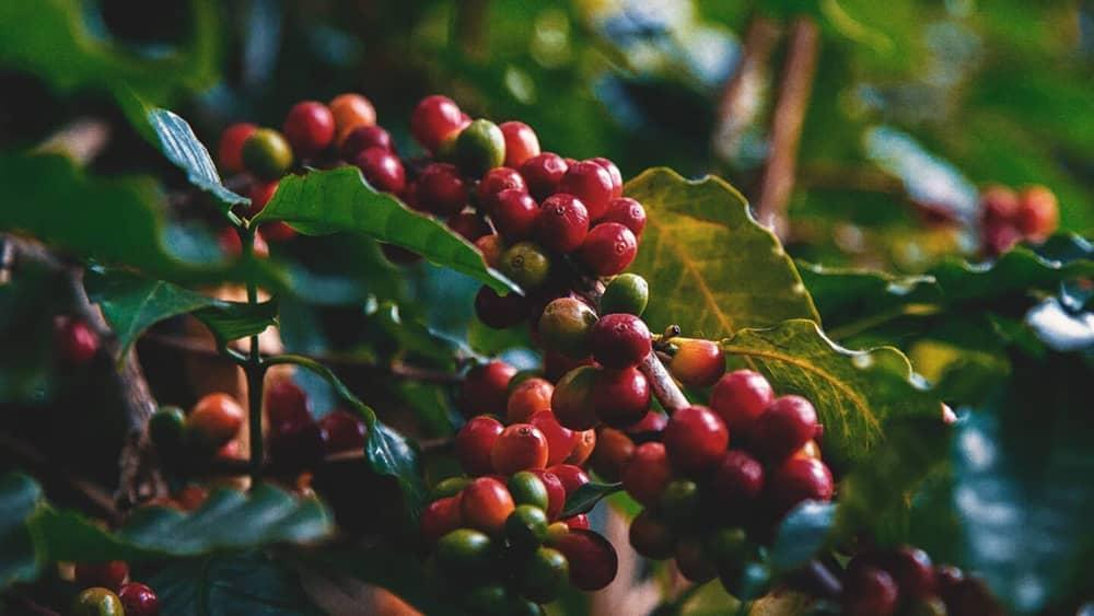 quả cafe chưa thu hoạch