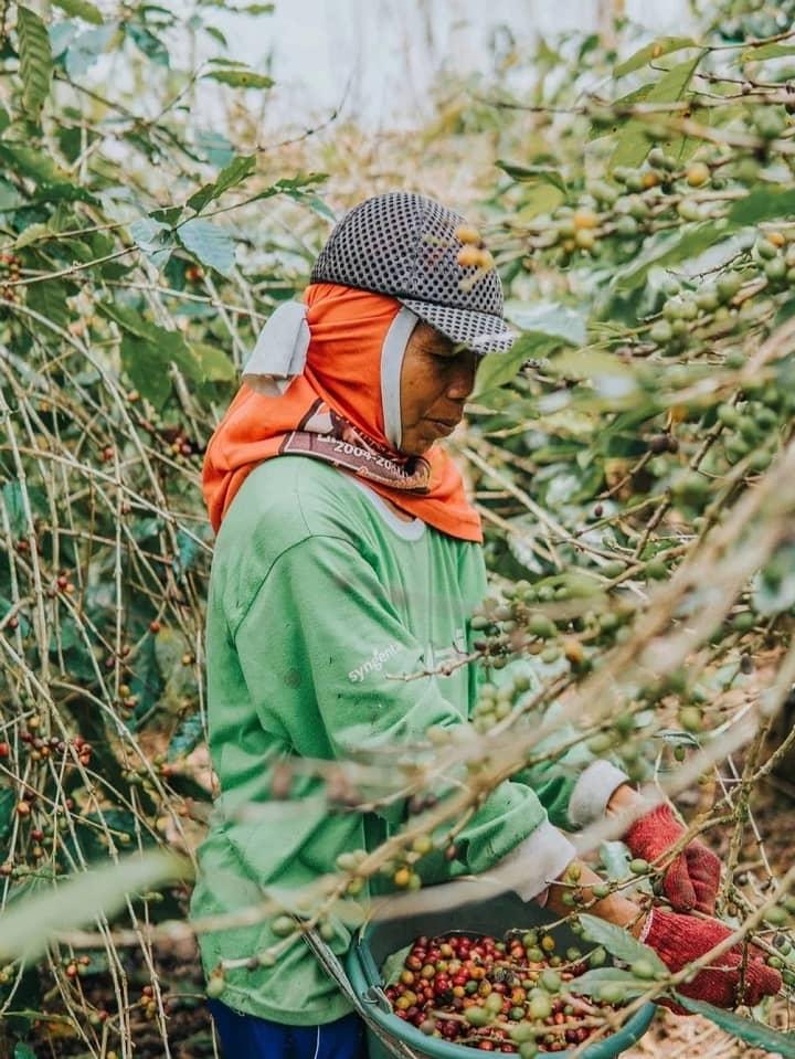 công nhân thu hoạch cà phê